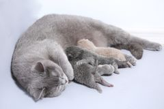 Cat feeding her new borns, first day of life. British Shorthair mom cat feeds her kittens on white background royalty free stock photos
