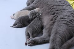 Cat feeding her new borns, first day of life. British Shorthair mom cat feeds her kittens on white background royalty free stock photo