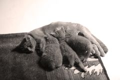 Cat feeding her new borns, first day of life. British Shorthair mom cat feeding her kittens royalty free stock images