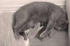 Cat feeding her new borns, first day of life. British Shorthair mom cat feeding her kittens royalty free stock photo
