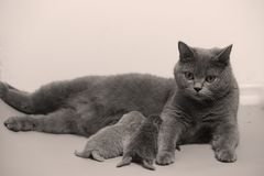 Cat feeding her new borns, first day of life. British Shorthair mom cat feeding her kittens stock images