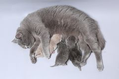 Cat feeding her new borns, first day of life. British Shorthair mom cat feeding her kittens royalty free stock photos