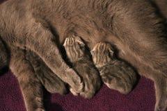Cat feeding her small kittens Royalty Free Stock Photo