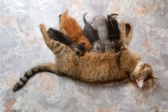 Cat feeding kittens Royalty Free Stock Images