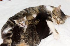 Cat feeding kittens Stock Images