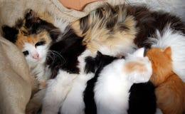 Cat feeding kittens. Close up Stock Photography