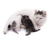 Cat feeding kittens. stock photography
