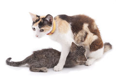 Cat feeding kittens. Cat feeding kittens on a white background Royalty Free Stock Image