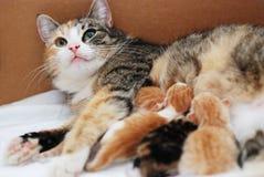 Cat feeding little kittens. In a cardboard box Royalty Free Stock Photo