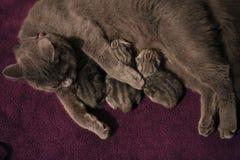 Cat feeding small kittens Stock Images