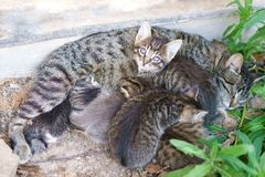 Cat feeds her cute kittens royalty free stock photos