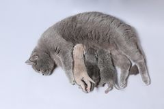 Cat feeds her new borns, first day of life. British Shorthair mom cat feeding her kittens stock images