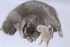 Cat feeds her new borns, first day of life. British Shorthair mom cat feeding her kittens royalty free stock images