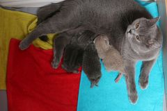 Cat feeds her new borns, first day of life. British Shorthair mom cat feeding her kittens. Colored towels royalty free stock photography