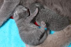 Cat feeds her new borns, first day of life, close-up view Royalty Free Stock Photos
