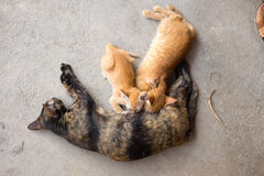 The cat feeds a kitten Stock Photography