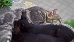 Cat feeds kittens breast. Cat feeding two kittens breast stock video footage