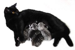 The cat feeds the kittens. Breastfeeding babies kittens. Black cat and striped kittens Stock Image