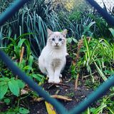 Cat feline beautiful exotic blue eyes wire plants royalty free stock photo