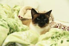 Cat Feline som ligger se kameran Brasilien royaltyfria foton