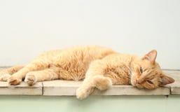 Cat Feline som ligger se kameran Brasilien arkivbilder