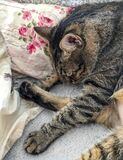 Cat sleeping among vintage roses decorated pillows