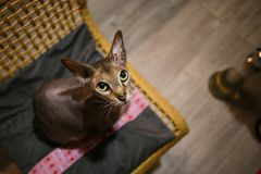 Cat felis catus. pet sitting on the chair. Cat felis catus. Pet sitting on chair. Features and benefits of the breed Stock Images
