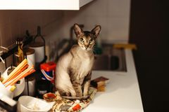 Cat felis catus. pet sitting on the table. Features and benefits of the breed Stock Photography