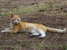 Cat Felis Domesticus die op land plaatsen stock afbeeldingen