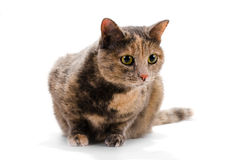 Cat female. Stock Photos