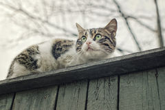 Cat on fence. Scared cat on top of old wooden picket fence with selective focus on eyes stock photography