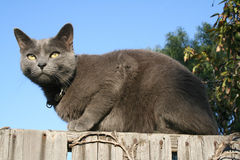 Cat On The Fence. Grey cat sitting high on a fence Royalty Free Stock Photography