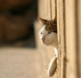 Cat in the fence. Cat looking out of a window Royalty Free Stock Photography