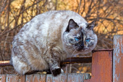 Cat on the fence. Beautiful tortie-point cat on the fence Royalty Free Stock Images