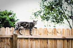 The cat on the fence. The gray, black and white cat on the fence, looks like this cat is looking for something! What will it be Stock Images