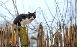 Cat on a fence. Neighbors cat is staring at photographer in the farm Royalty Free Stock Photo