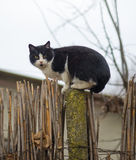 Cat on a fence. Neighbors cat is staring at photographer in the farm. Cat on a fence. Neighbors cat is staring at photographer Stock Photo
