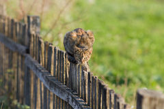 Cat on fence. Tabby cat sitting and lurking on wooden fence on countryside Stock Photos