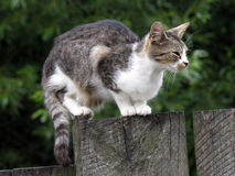 Cat on fence royalty free stock photo