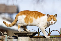 Cat on the fence. Yellow cat walking on the fence Royalty Free Stock Image