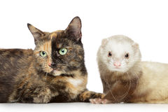 Cat and ferret Royalty Free Stock Images