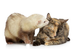Cat and ferret plays on a white background Royalty Free Stock Photos