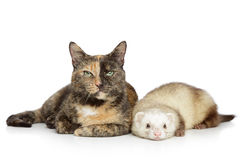Cat and ferret on a white background Stock Image