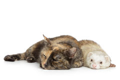 Cat and ferret on a white background Stock Photos