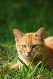 A Cat in the Field. A redhead cat lying in the green field Royalty Free Stock Images