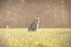 Cat in Field at Sunset Royalty Free Stock Photos