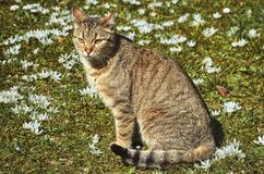 Cat on the Field. Among the White Flowers Royalty Free Stock Photography
