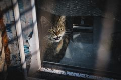 Smiling cat. Cat with fierce expression outside window stock photo