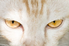 Cat. Fierce looking cat eyes staring stock images