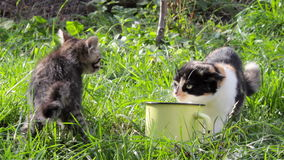 Cat fight for food. Quarrels with kitten adult cat for food on the grass stock video
